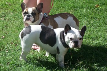Luck French Bulldog Puppies In Lubbock Texas